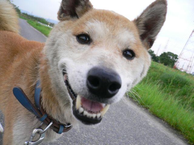 柴犬 ケン