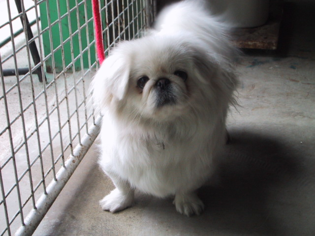 White Pekingese toy dog