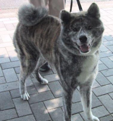 秋田犬の画像 p1_23