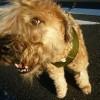 犬種図鑑 ソフトコーテッド・ウィートンテリア追加