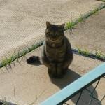 迷い猫? 名古屋市天白区 キジトラ