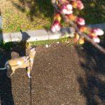 桜今日咲くな